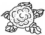花菜简笔画图片与知识