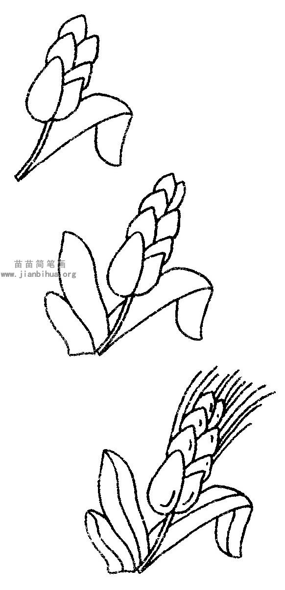 水稻简笔画图片与知识