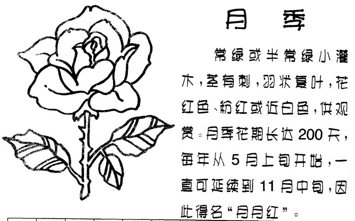 月季花简笔画图片与资料 月季花是常绿或半常绿小灌木,茎有刺,羽状复叶,花红色、粉红或近白色,供观赏。月季花期长达200天,每年从5月上旬开始,一直可延续到11月中旬,因此得名月月红。 月季原产于中国,有二千多年的栽培历史,相传神农时代就有人把野月季挖回家栽植,汉朝时宫廷花园中已大量栽培,唐朝时更为普遍。由于中国长江流域的气候条件适于蔷薇生长,所以中国古代月季栽培大部分集中在长江流域一带。
