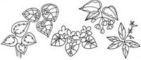 观叶秋海棠怎么画简笔画图解