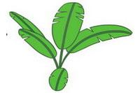 芭蕉树简笔画图片大全、教程