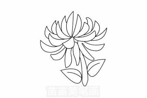 菊花简笔画大图